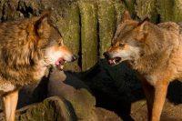 Притча про двух волков. Вы прочитаете ее за 20 секунд, а будете помнить вечно