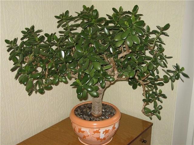 Денежное дерево — лучший домашний целитель