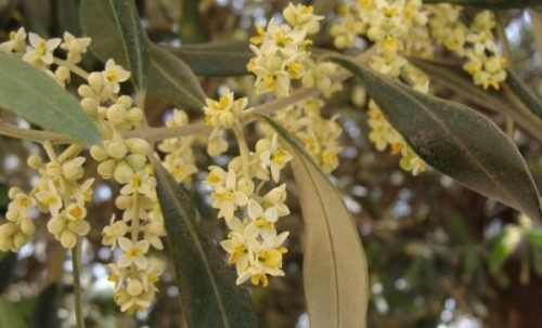 Можно ли вырастить оливковое дерево в домашних условиях