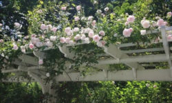 Вьющиеся растения для беседок: 19 прекрасных вариантов